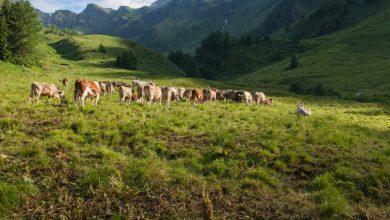 Photo of Stočarstvo u zlatiborskom kraju: Mihajlo iz Krive Reke ušao u sve unosniji posao