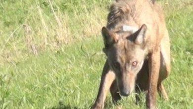 Photo of Vanda je jedina markirana vučica u Srbiji