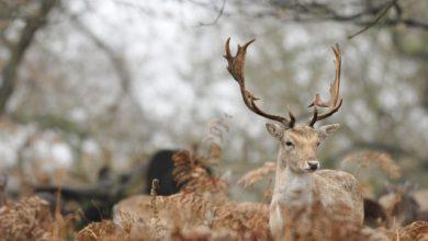 Photo of Nakon mnogo godina jeleni i košute ponovo jezde proplanicima Zlatibora
