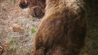 Photo of Prvi medved markiran na teritoriji Zlatibora: Zoranu sa Tare i Bori sa Jadovnika pridružila se ženka Milunka